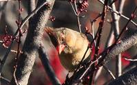 Another Young Female Cardinal