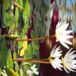 """""""Hydrangea"""" by AEDurham"""