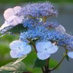 """""""Hydrangea in Bloom"""" by AEDurham"""