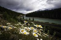 Daisies Along the Bow River
