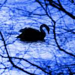 """Swan Lake Blues"" by brianraggatt"