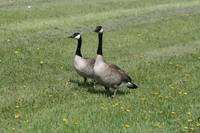 Pair of Canada Geese on Grass with Dandelions