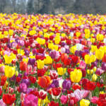 """TULIP Flower Festival Art Prints Spring Colorful"" by BasleeTroutman"