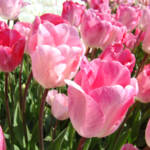 """TULIP Flowers Garden Art Prints Pink Tulips"" by BasleeTroutman"