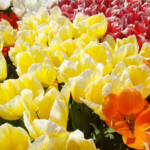 """SPRING TULIPS art prints Yellow White Tulip Flower"" by BasleeTroutman"