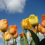 """Spring Blue Skie Orange Tulip Flowers art prints"" by BasleeTroutman"