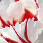 """TULIP Floral art prints White Pink Striped Tulips"" by BasleeTroutman"
