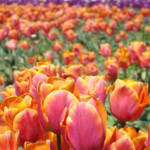 """Tulips Meadow Field prints Orange Pink Tulip Flowe"" by BasleeTroutman"