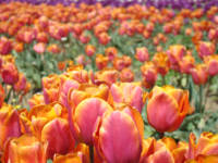 Tulips Meadow Field prints Orange Pink Tulip Flowe