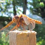 """Copper Dragonfly"" by MTeeter"