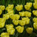 """Sunny Yellow Tulips"" by vicki"