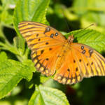 """Gulf Fritillary Butterfly"" by ValeriesGallery"