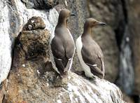 The Guillemot's Distinguished Look