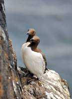 The Inquisitive Guillemots