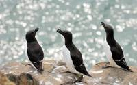 The Backlite Razorbills