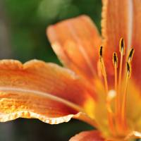 Lily flower Art Prints & Posters by Martine Affre Eisenlohr