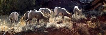 Devils Canyon Sheep