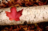 Maple Leaf and Birch Log | Stillwater, Minnesota