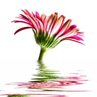 Pink Gerbera Flood
