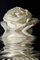 White Rose Flood