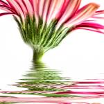 """Pink Gerbera Flood"" by StevePurnell"