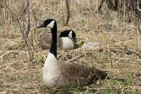 Male Goose Protecting Female and Gosling