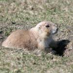 """Black Tailed Prairie Dog on watch"" by rhamm"