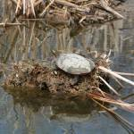 """Painted Turtle on mud and reeds"" by rhamm"