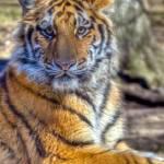 """tigerhdr"" by midcenturymodern"
