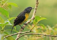 Black-and-yellow Silky Flycatcher