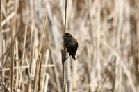 Female Red Winged Blackbird on Marsh Reeds