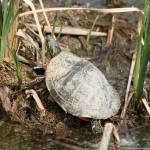 """Painted Turtle Among Reeds"" by rhamm"