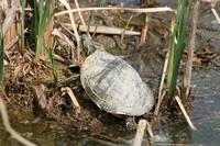 Painted Turtle Among Reeds