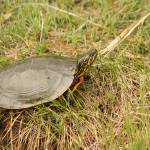 """Painted Turtle Sunning on Grass"" by rhamm"