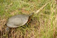 Painted Turtle Sunning on Grass