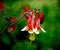 Columbine Flower, Floral Still Life