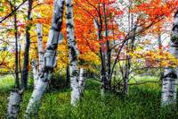 Birch Trees of Acadia