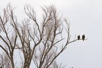 Male and Female Bald Eagles