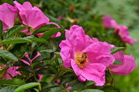 Rose and Honey Bee