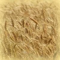 IMGP2464-Wheat-SQ-MT