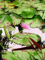 Lily Pads and Flower