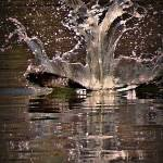 """Osprey Crashing Water"" by bavosiphotoart"