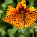 """Aphrodite Fritillary Butterfly"" by PronghornPix"