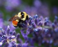 Bumblebee on Lavender by Rona Black
