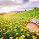 """""""Field of dandelion"""" by Nermin"""