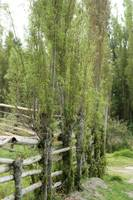 Bamboo Fence in a Pasture