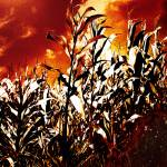 """Fire in the corn field"" by gavila"
