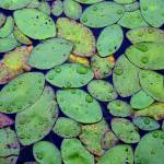"""Rainy Pond Leaves"" by Groecar"