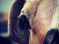 amish horse blinders