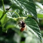 """raspberrybee"" by angelandspot"